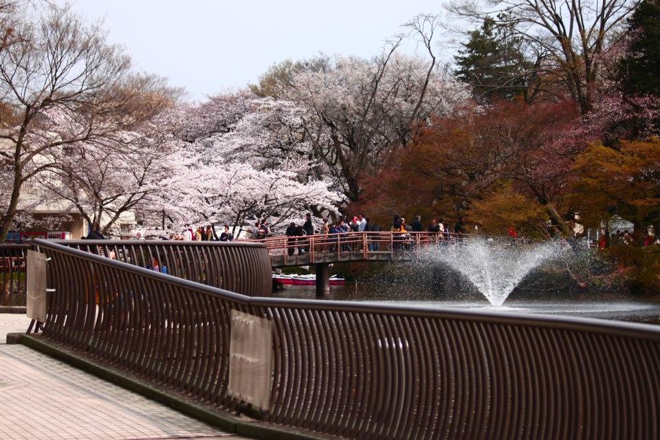 井の頭公園 噴水と桜